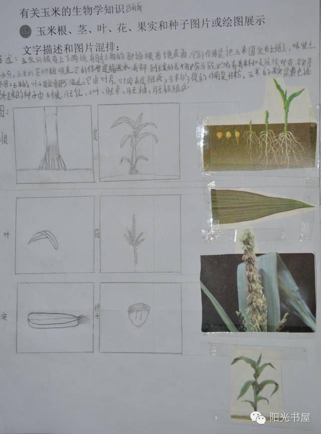 玉米叶横切面结构图片